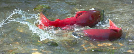 Male and female sockeye salmon  red salmon   during spawning in the shallow creek