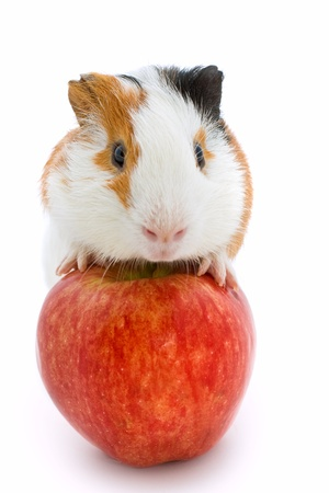 guinea pig and red apple の写真素材