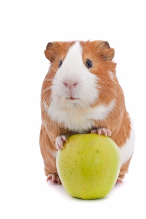 guinea pig with green apple の写真素材