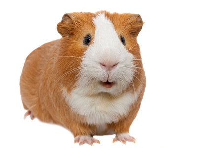 red guinea pig の写真素材