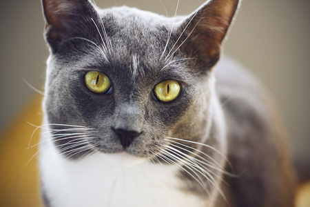 Photo pour A beautiful grey cat with a white spot on his forehead and yellow-green eyes is illuminated by light - image libre de droit