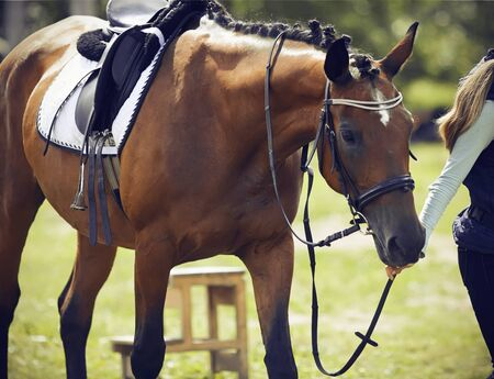 Photo pour Girl rider leads a bridle Bay horse, dressed in ammunition for dressage and equestrian sports, on a Sunny summer day - image libre de droit