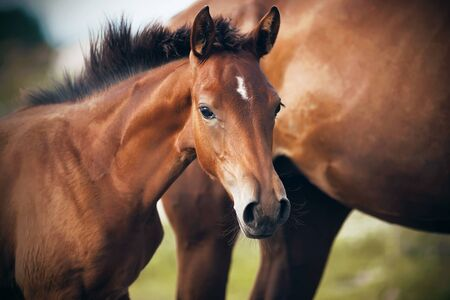Photo pour A cute shy foal of a bay suit with a white spot on his forehead stands near his mother - image libre de droit