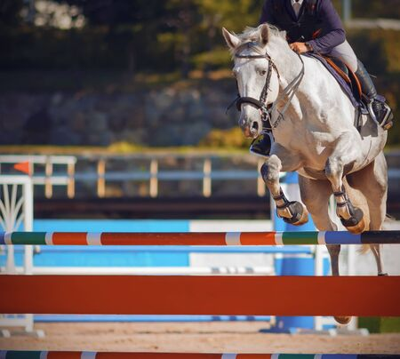 Photo pour A white beautiful strong horse with a rider in the saddle jumps over a colorful bright barrier at jumping competitions in the summer. - image libre de droit