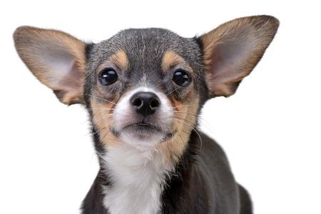 Photo pour Portrait of an adorable Chihuahua - studio shot, isolated on white background. - image libre de droit