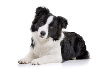 Foto de Studio shot of an adorable Border Collie lying on white background. - Imagen libre de derechos