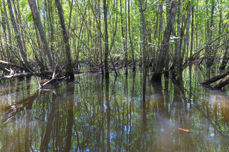 Mangroves green water and roots above ground in nature