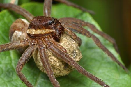 A large spider Dolomedes fimbriatus with a cocoon.