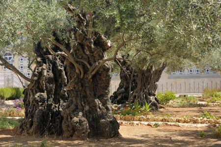Garden of Gethsemane on the Mount of Olives