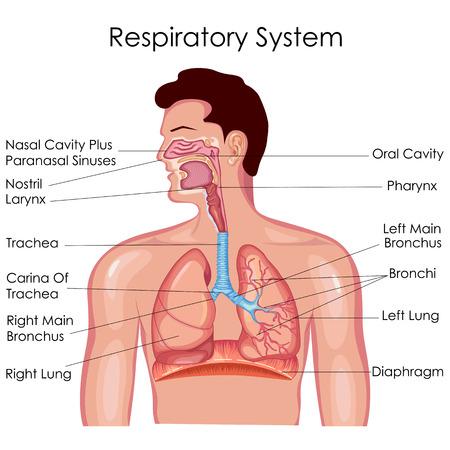 Ilustración de Medical Education Chart of Biology for Respiratory System Diagram. Vector illustration - Imagen libre de derechos