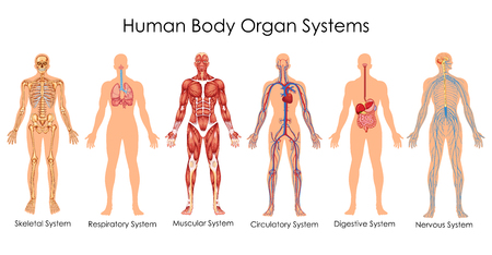 Illustration pour Medical Education Chart of Biology for Human Body Organ System Diagram. Vector illustration - image libre de droit