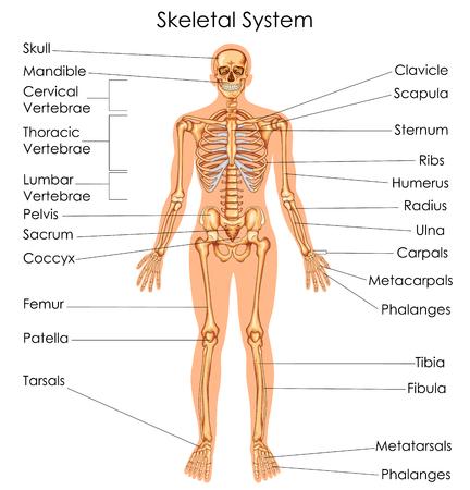 Illustration pour Medical Education Chart of Biology for Skeletal System Diagram. Vector illustration - image libre de droit