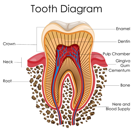 Illustration pour Medical Education Chart of Biology for Tooth Anatomy Diagram - image libre de droit