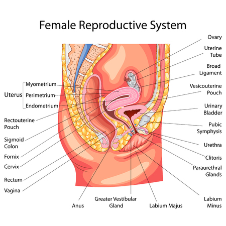 Ilustración de Education Chart of Biology for Female Reproductive System Diagram - Imagen libre de derechos