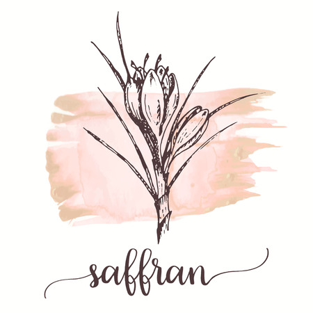 Illustration pour Saffron sketch on watercolor paint. Hand drawn ink illustration of saffron flower. Vector design for tags, cards, packaging, promo for spices and herbs - image libre de droit
