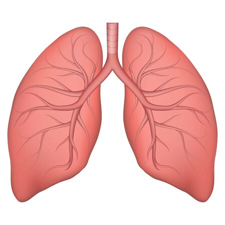 Illustration pour Vector illustration of human lung structure. Realistic drawing for anotomy biology textbook or articles about pulmonary diseases. Lungs in normal condition. Respiratory diseases. - image libre de droit
