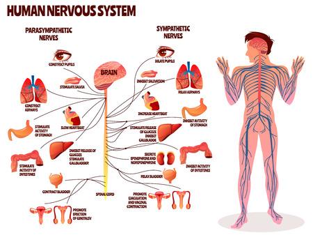 Illustration pour Human nervous system vector illustration. Cartoon design of man body with brain parasympathetic and sympathetic nerves chain for neurology medical infographic - image libre de droit