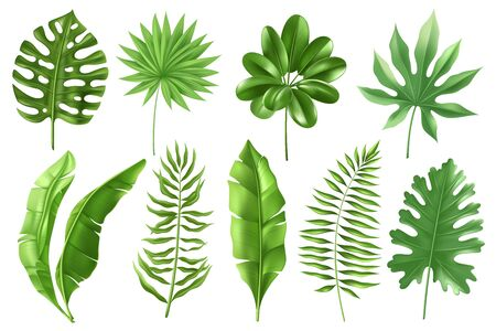 Illustration pour Set of tropical palm leaves in a realistic detailed style. Banana leaves in different angles. Monstera, types of ferns. Exotic foliage. Vector illustration - image libre de droit