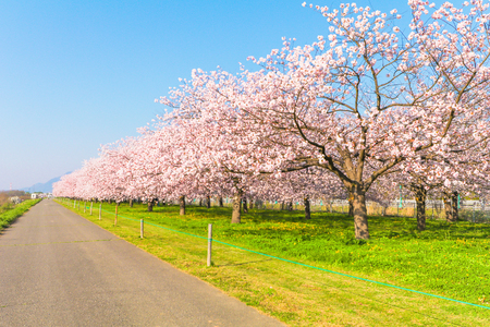 Foto de Beautiful cherry blossom trees or sakura blooming beside the country road in  spring day. - Imagen libre de derechos