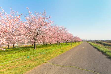 Photo for Beautiful cherry blossom trees or sakura blooming beside the country road in  spring day,Japan. - Royalty Free Image