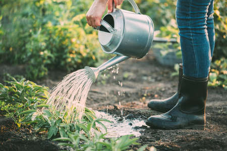 Foto per Hand watering herbs in the garden. - Immagine Royalty Free