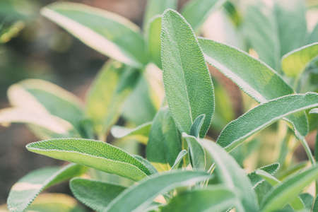 Photo for Green sage plant. Healing herbs, medicinal herbs. - Royalty Free Image