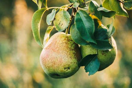 Foto für Two ripe pears on a branch in the garden, close-up. Organic fruit. - Lizenzfreies Bild
