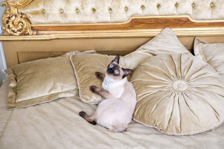 The theme is luxury and wealth. Young cat without a tail thoroughbred Mecogon bobtail lies resting on a big bed on a pillow in a Renaissance Baroque interior in France Europe Versailles Palace.
