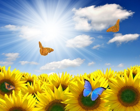 Photo pour Summer sun over the sunflower field  with butterfly - image libre de droit