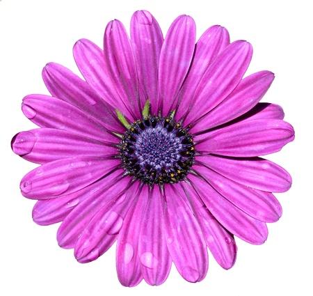 Foto de dewy flower  isolated on white background  - Imagen libre de derechos