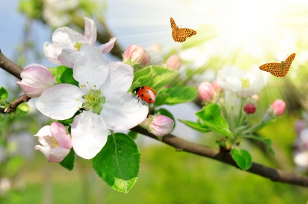 Beautiful spring blossoming apple tree with the ladybug and butterflies