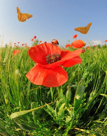 red poppy in green wheat field with butterflies