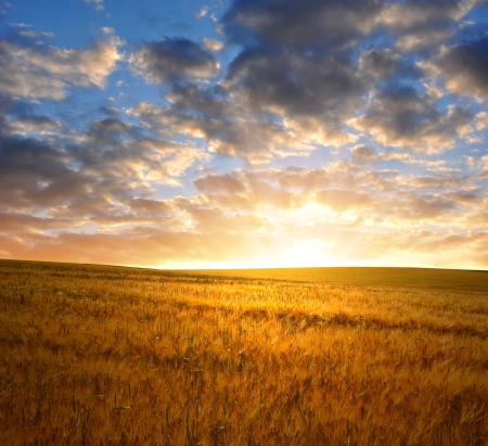 sunset over wheat fields