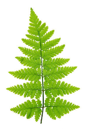 Fern isolated on white background の写真素材