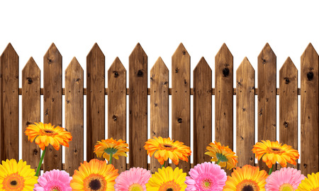 Blooming colorful gerberas in the wooden fence
