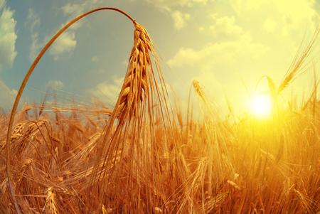 Barley field at sunset. Fisheye shot.