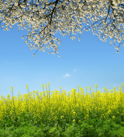 Photo for Spring landscape with rapeseed field and flowering tree. - Royalty Free Image