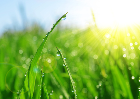 Fresh green grass with dew drops closeup. Nature Background.