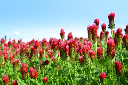 Photo pour Field of flowering crimson clovers (Trifolium incarnatum) in spring rural landscape. - image libre de droit