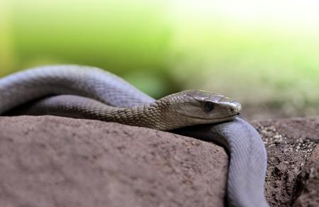 Photo pour Black Mamba (Dendroaspis polylepis). - image libre de droit