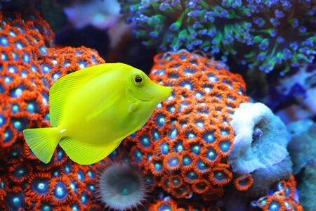 Photo pour The yellow tang (Zebrasoma flavescens) with corals reef in the background. Fish from Acanthuridae family. - image libre de droit