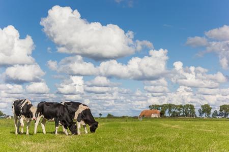 Photo pour Little farm and dutch cows in Groningen, Netherlands - image libre de droit