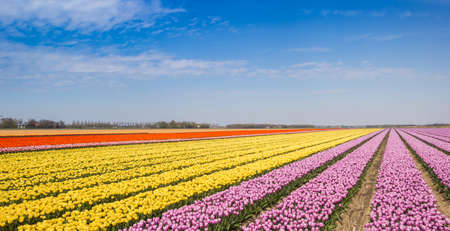 Photo for Panorama of yellow and pink tulips in a field in Noordoostpolder, Netherlands - Royalty Free Image