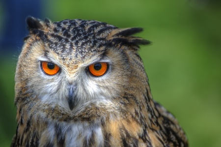 Superb close up of European Eagle Owl with bright orange eyes and excellent detail
