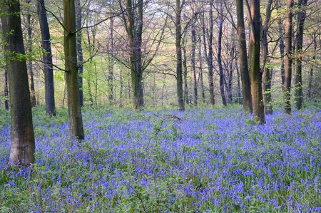 Lovely fresh colorful image of bluebell woods in Spring
