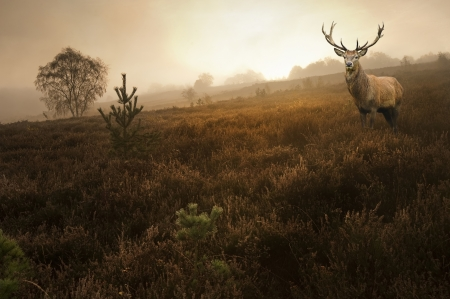 Beautiful forest landscape of foggy misty forest in Autumn Fall with beautiful red deer stag