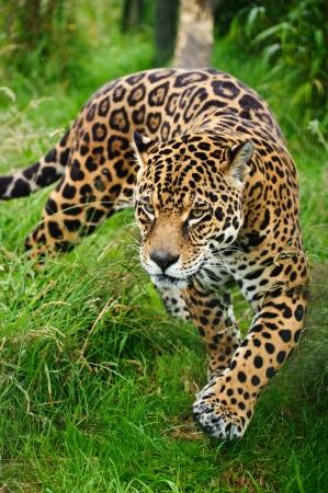 Stealthy Jaguar
