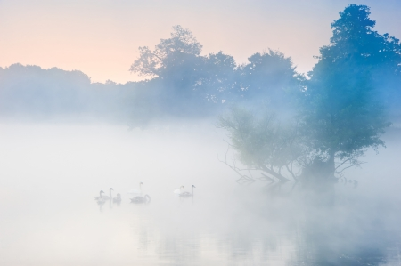 Familyof swans swim across misty foggy Autumn Fall lake