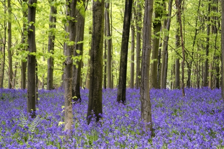 Beautiful carpet of bluebell flowers in Spring forest landscape