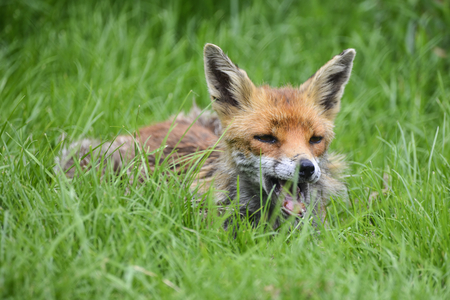 Photo pour Beautiful image of red fox vulpes vulpes in lush Summer countryside landscape - image libre de droit